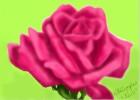 My Pink Rose