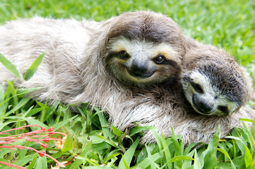 Cute Sloths Picture By Sloth Drawingnow