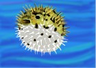 How to Draw a Puffer fish