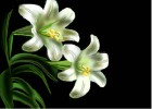 How to Draw Easter Lilies