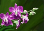 How to Draw Orchids