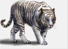 How to Draw a White Tiger