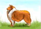 How to draw a Collie
