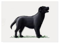 How to Draw a Black Labrador Retriever