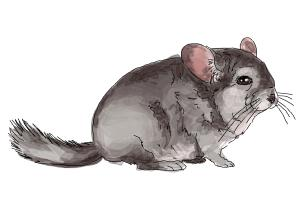 How to Draw a Chinchilla
