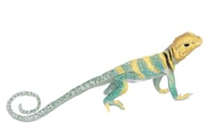 How to Draw a Common Collared Lizard