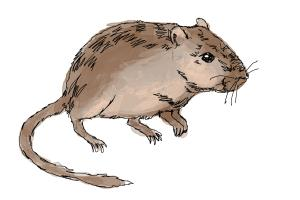 How to Draw a Gerbil