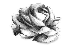 How to draw a Rose in pencil