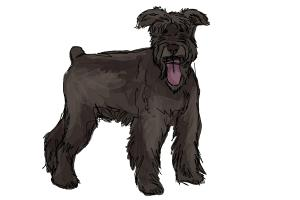 How to Draw a Schnauzer