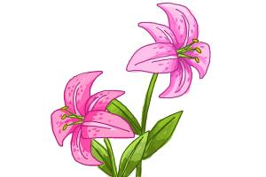 How to draw a Stargazer Lily