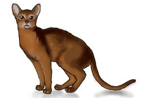 How to draw an Abyssinian Cat