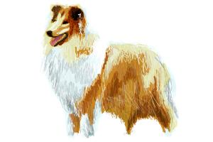 How to draw Rough Collie