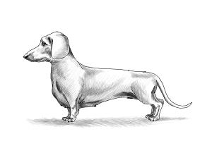 How to Draw Dachshund Step by Step