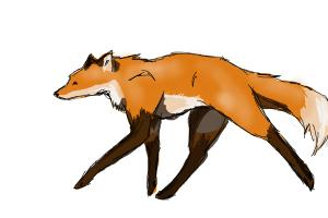 soft canter fox