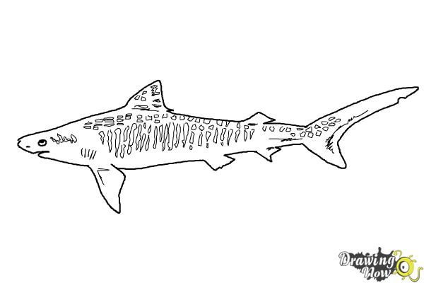 How to Draw a Tiger Shark - Step 8