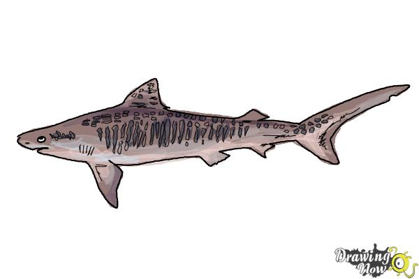 How to Draw a Tiger Shark - Step 9