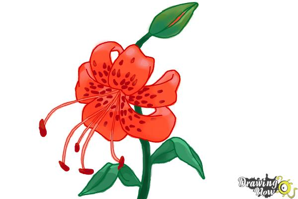 How to Draw a Tiger Lily - Step 10