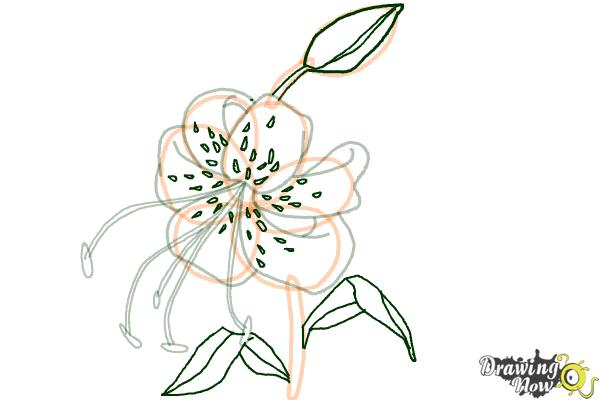 How to Draw a Tiger Lily - DrawingNow