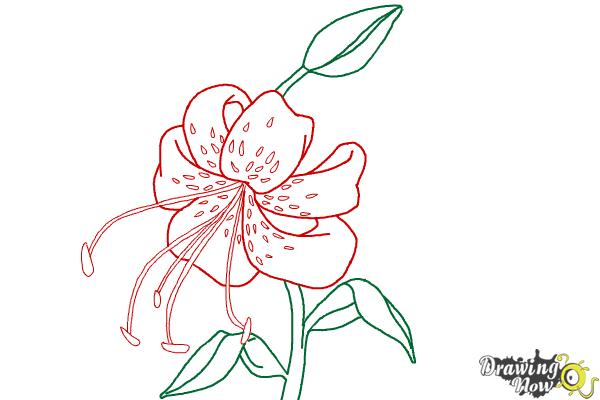 how to draw a tiger lily step 9