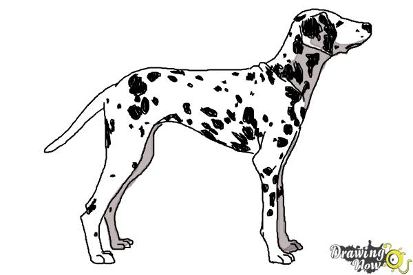 How to Draw a Dalmatian - Step 10