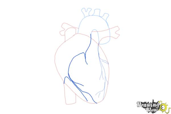 How to Draw a Human Heart - Step 7