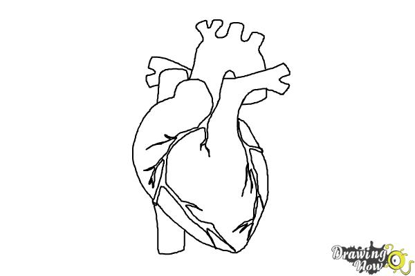 How to Draw a Human Heart - Step 9
