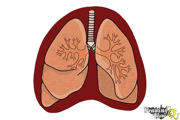 how to draw lungs drawingnow simple diagram of ear how to draw lungs step 10