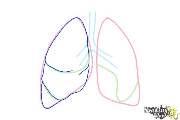 How to Draw Lungs - Step 4