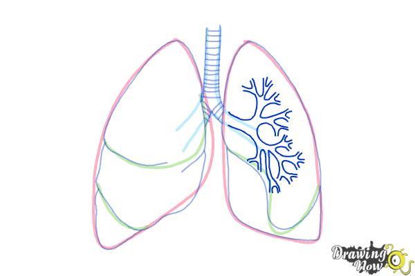 how to draw lungs - step 7