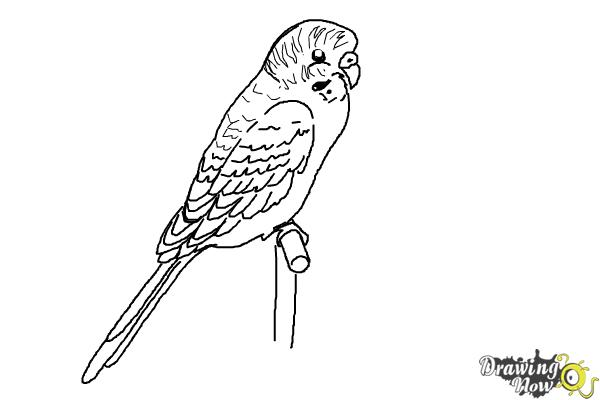 How to Draw a Parakeet - Step 8