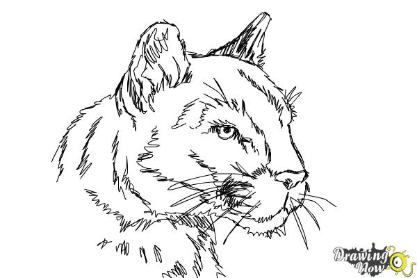 How to Draw a Mountain Lion - Step 10