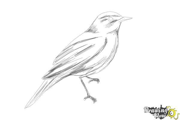How to Draw a Nightingale Bird - Step 10