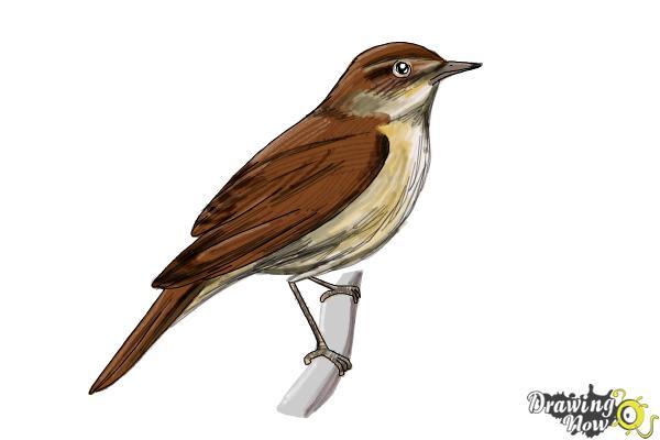 How to Draw a Nightingale Bird - Step 11
