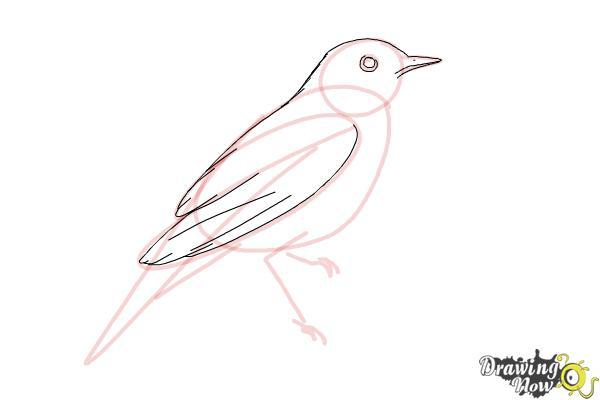 How to Draw a Nightingale Bird - Step 7