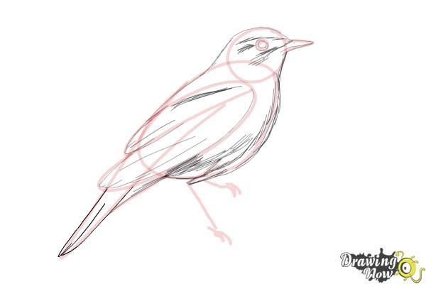 How to Draw a Nightingale Bird - Step 8