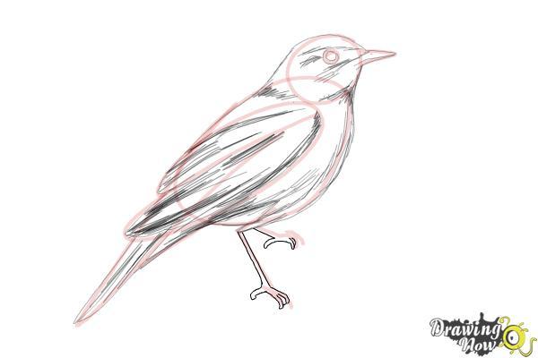 How to Draw a Nightingale Bird - Step 9