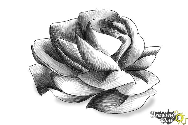 Line Drawing Of Rose Plant : How to draw a rose in pencil drawingnow