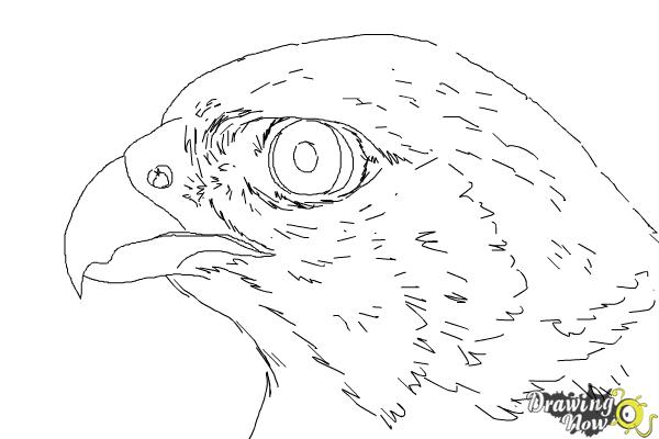 How to Draw a Falcon Head - Step 7