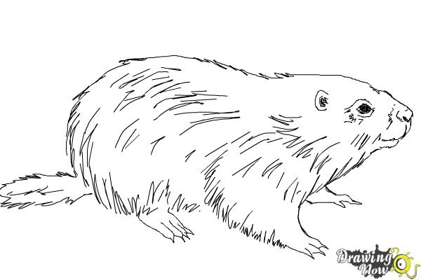 How to Draw a Groundhog - Step 8
