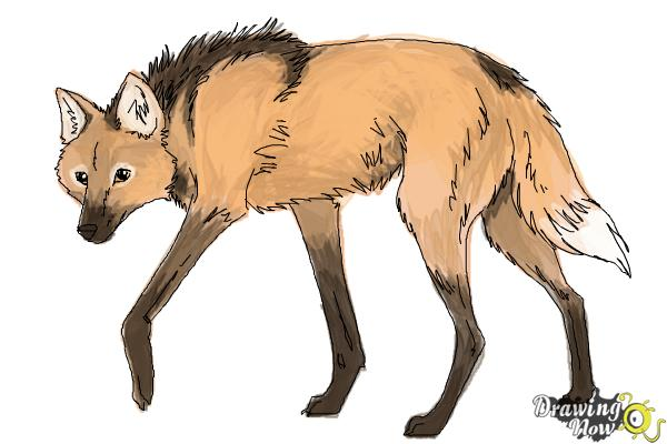 How to Draw a Wolf - Maned Wolf - Step 10