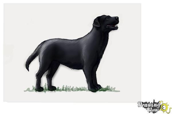 How to Draw a Black Labrador Retriever - Step 10