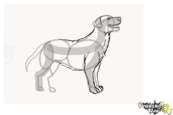 How to Draw a Black Labrador Retriever - Step 7