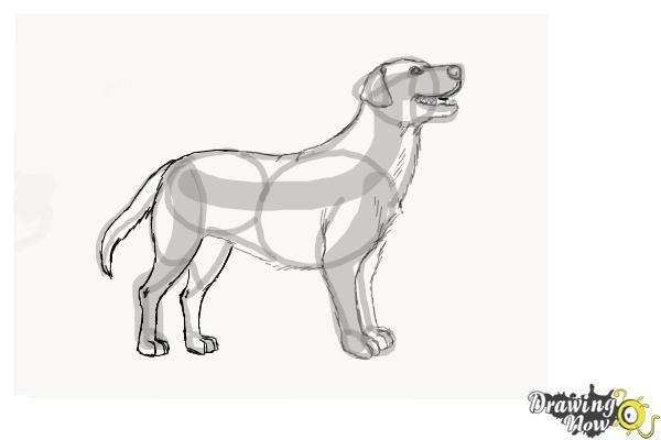 How to Draw a Black Labrador Retriever - Step 8