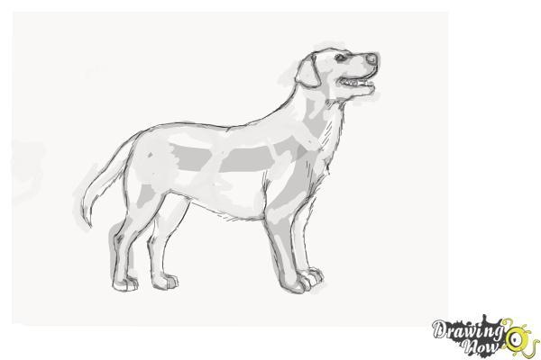How to Draw a Black Labrador Retriever - Step 9