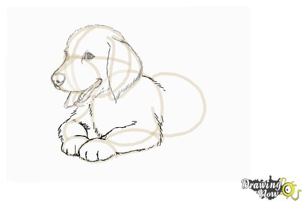 How to Draw a Golden Retriever Puppy - DrawingNow